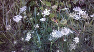 Queen Ann's Lace with Bindweed