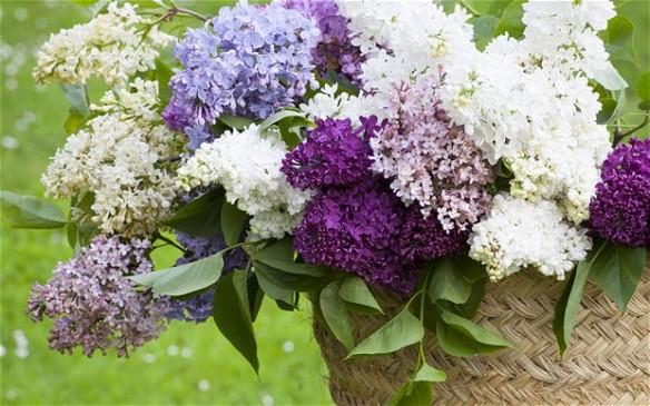 lilacs_2582962b