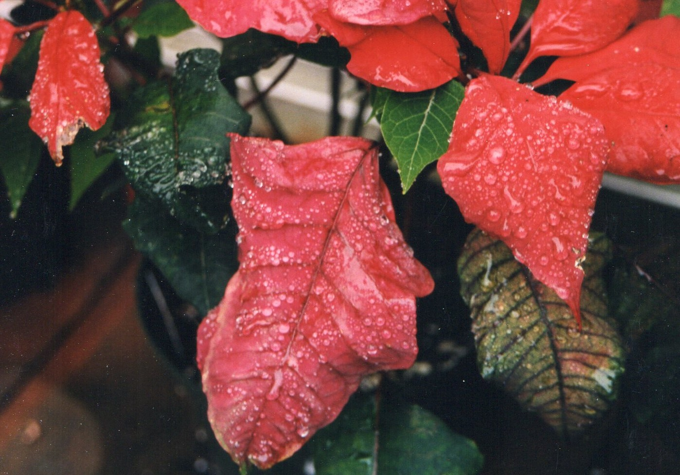 Poinsetta and water drops036