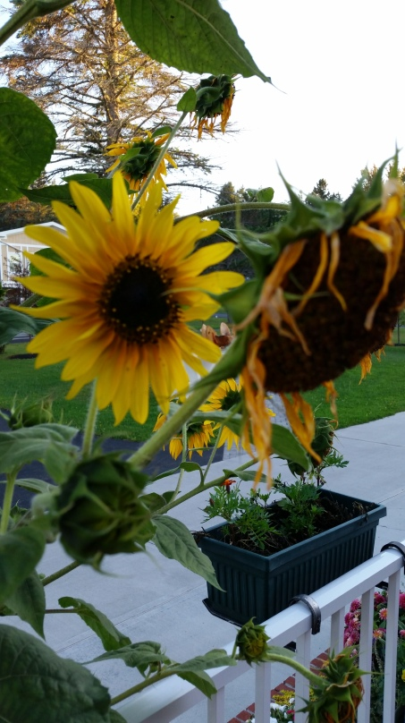 20150911_183519Peace Village Sunflfowers Past Present Future