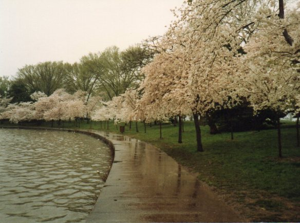 Cherry Blossoms on a rainy day