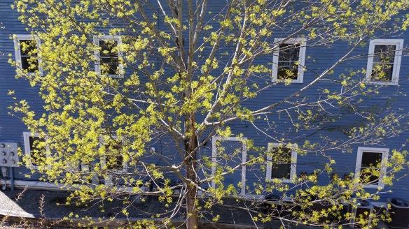 Maple tree Celebrating Spring