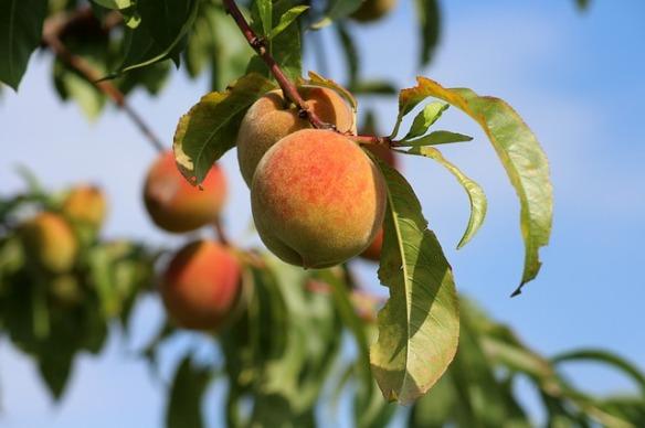 peaches-3529802_640