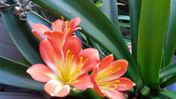 Clivia partial Bloom 3
