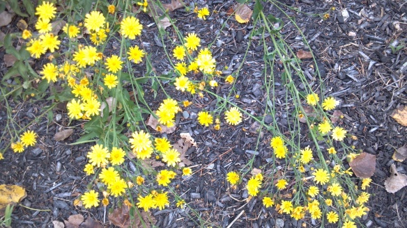 Fall Dandelions