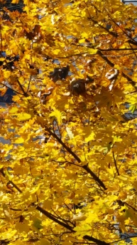 Fall Maple Gold 2